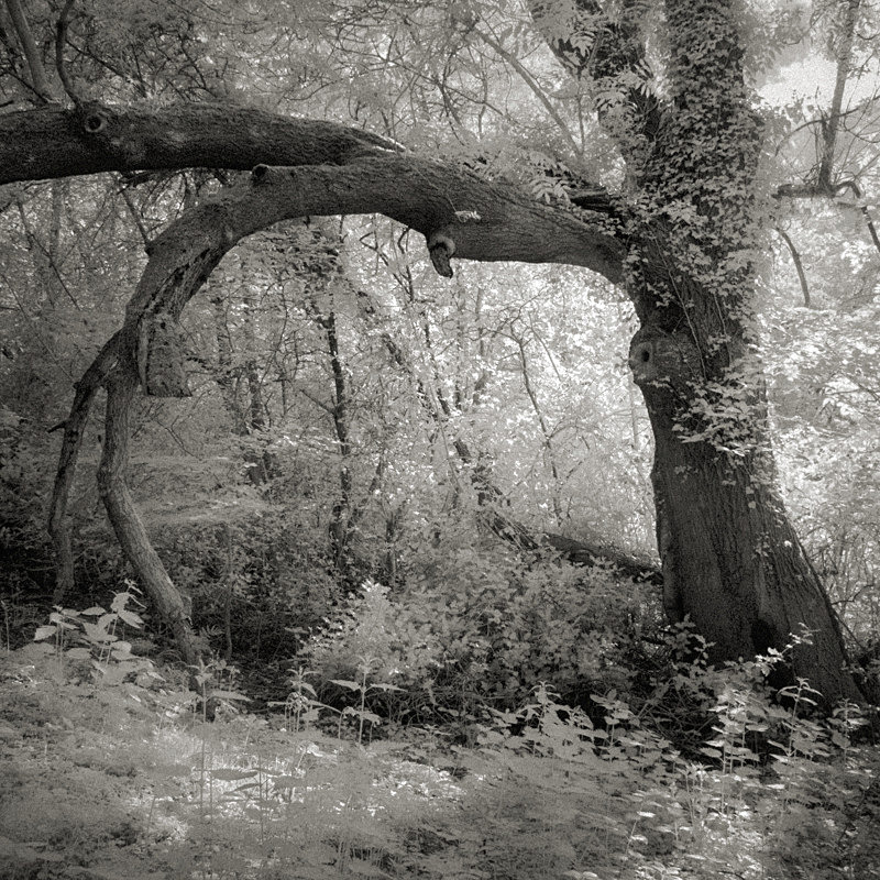 Arched Tree, Infrared - Infrared