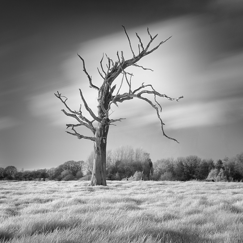 Dead tree in Infrared #1 (square format) - Infrared