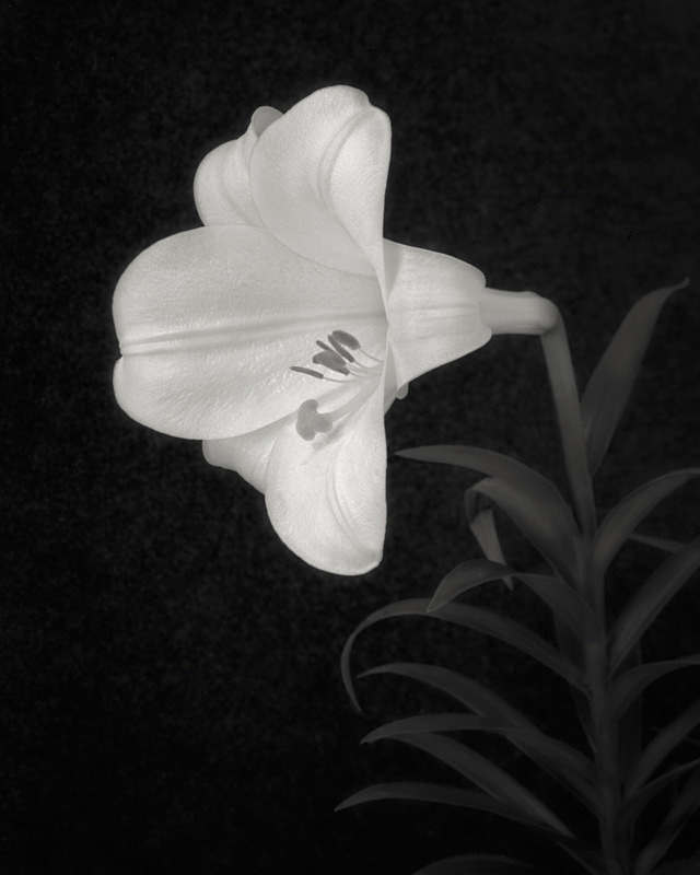 Still Life in Black and White of a Lily - Abstract & Still Life