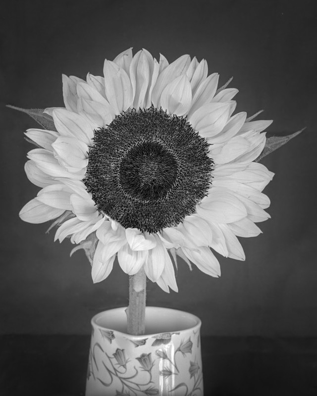 Sun Flower Still Life in Black and White - Abstract & Still Life