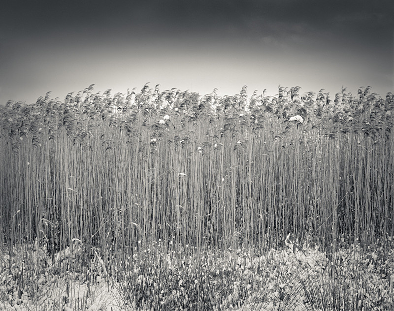 Black & White Photograph Reed Bed High Royds Menstone - Abstract & Still Life