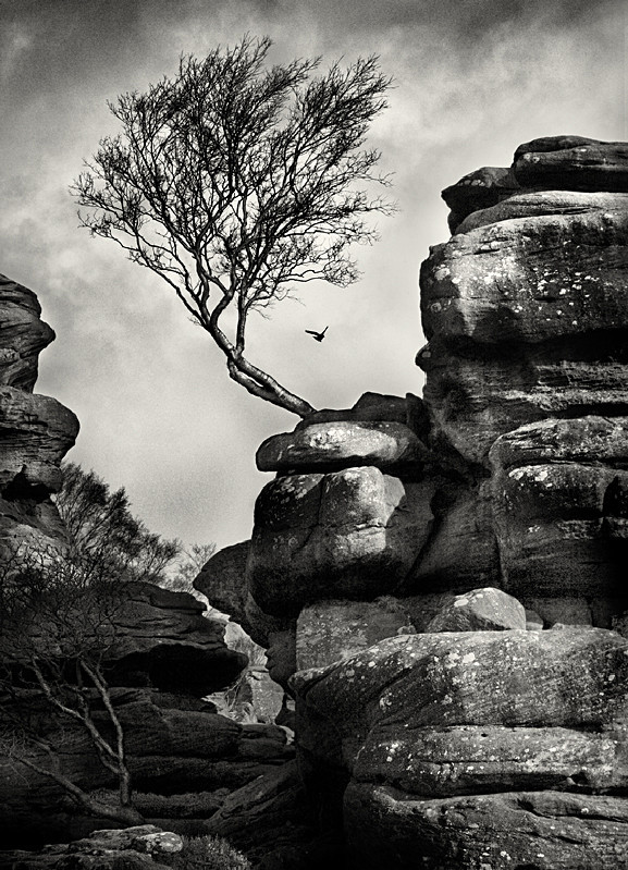 Brimham Rocks Tree Photograph in Black and White