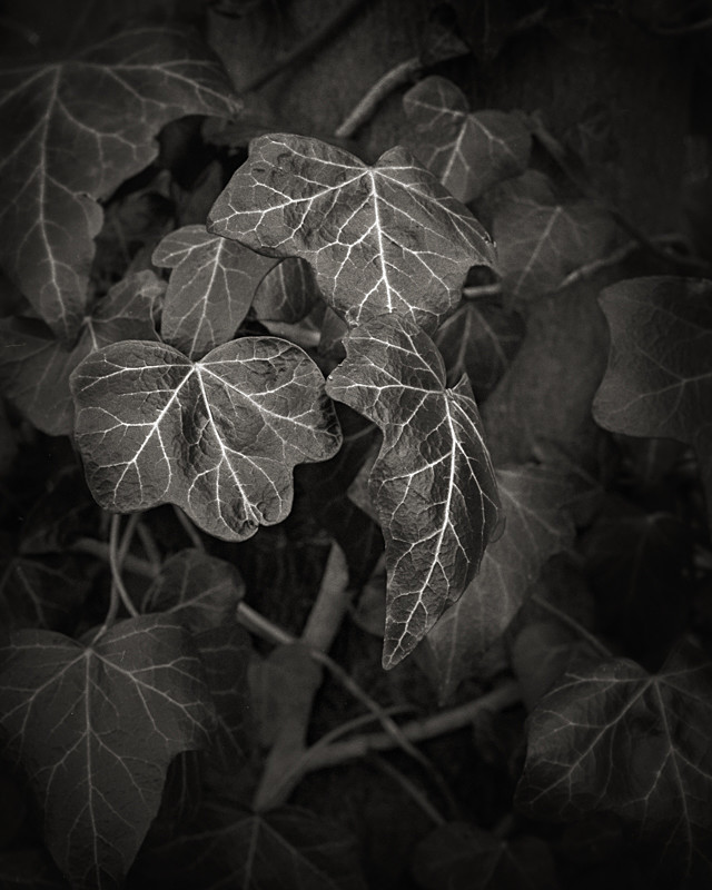 Ivy Still Life in Black and White - Abstract & Still Life
