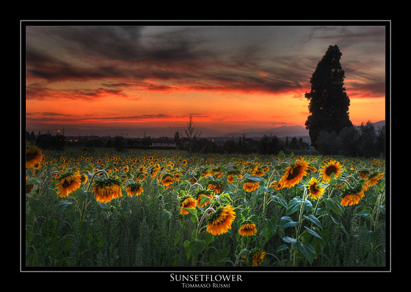 Sunflower - Tuscany