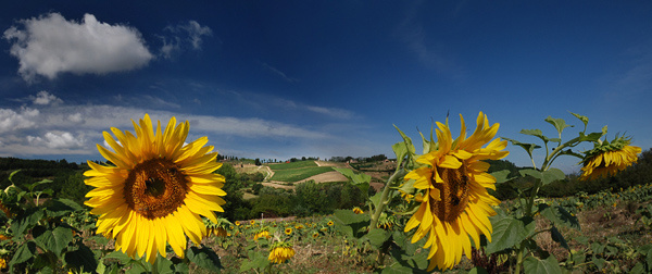 Tuscan Sunflowers - Tuscany