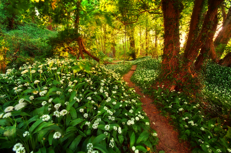967 Wild Garlic, Shanklin Down - Sandown, Shanklin, Luccombe and Wroxall