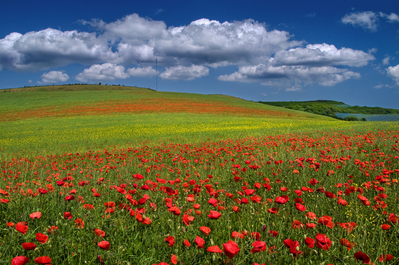 z1628 Poppies, Limerstone - The Inner Island inc Newport & Godshill