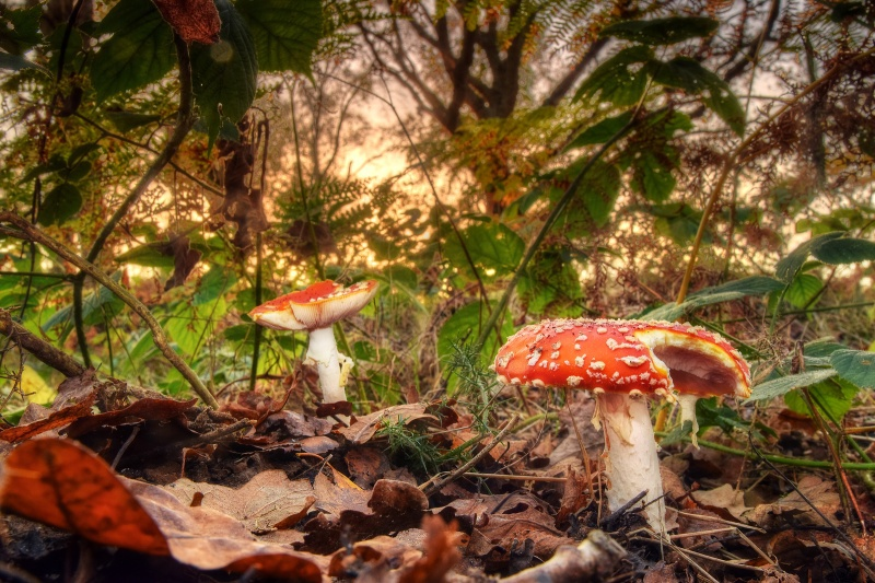 z2549 Toadstools in America Wood - Sandown, Shanklin, Luccombe and Wroxall
