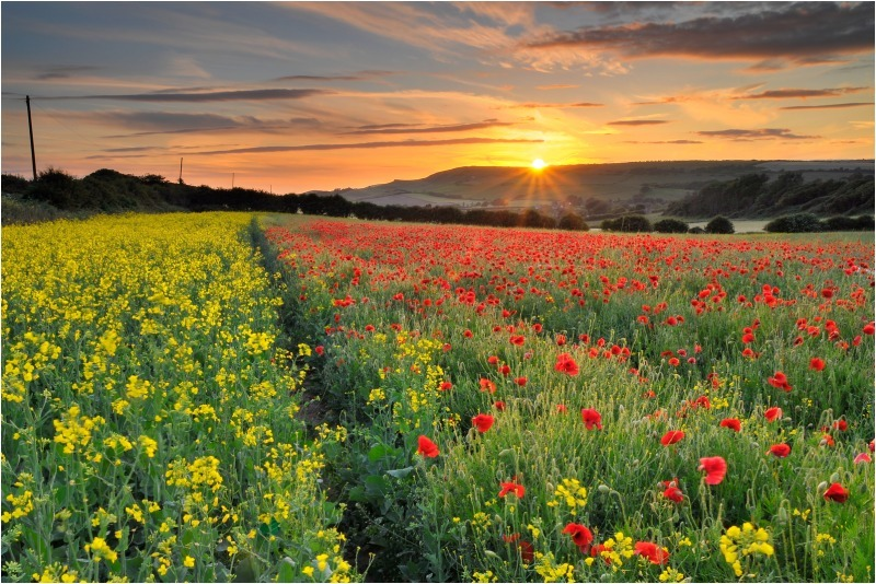 z2442 Evening Poppies, Shorwell - Blackgang to Compton inc West Wight