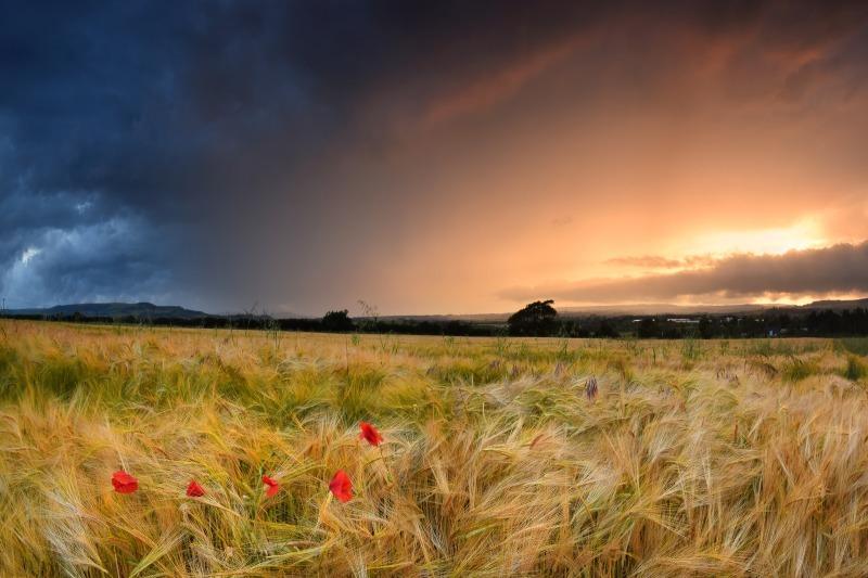 z2441 Poppy Storm, Apse Heath - Sandown, Shanklin, Luccombe and Wroxall