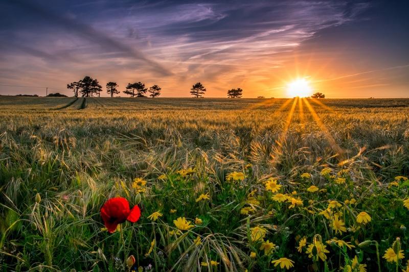 z2735 Wheat Fields of West Wight - The Inner Island inc Newport & Godshill