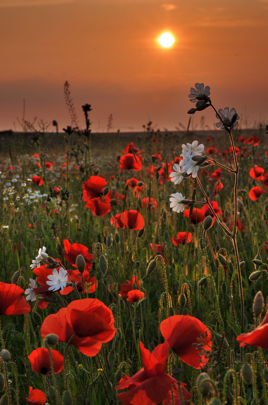 z1345 Poppies Chale - Blackgang to Compton inc West Wight