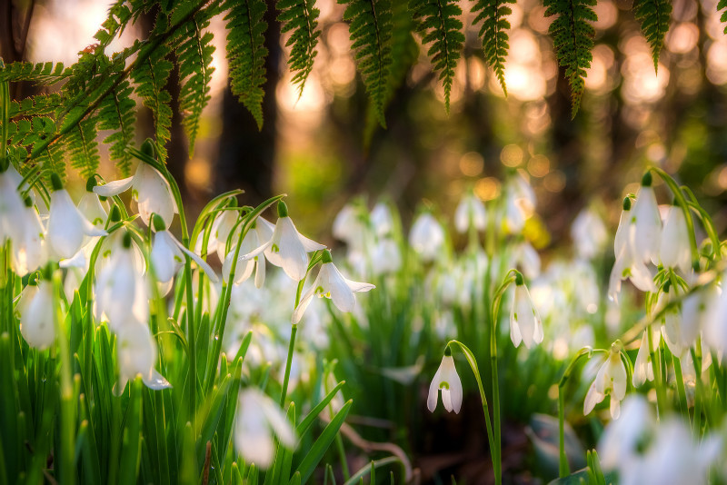 z3014 Snowdrops, Chale - Blackgang to Compton inc West Wight