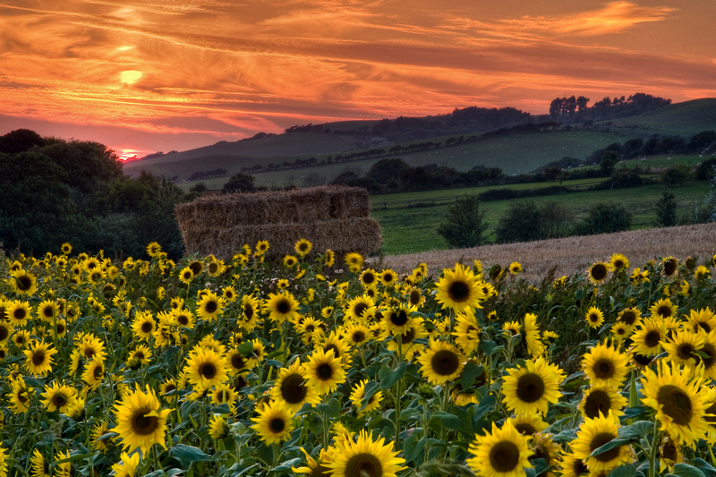 z1912 Sunflower Sunset, Shorwell - The Inner Island inc Newport & Godshill
