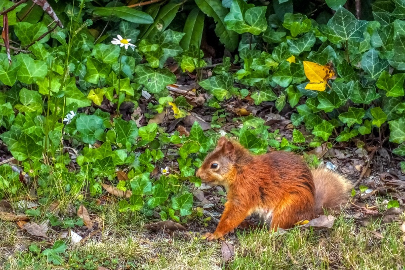 z2742 Red Squirrel, America Wood - Sandown, Shanklin, Luccombe and Wroxall
