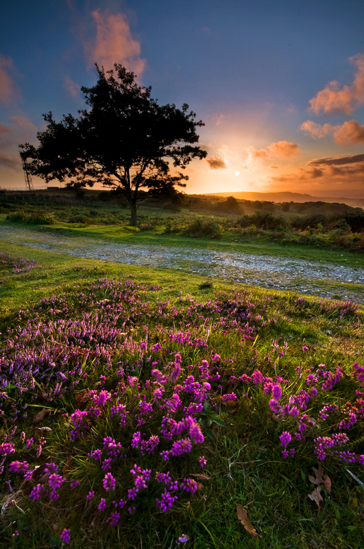 z1423 Heather at Sunset, Ventnor Down - Ventnor to St Catherine's inc Bonchurch & Whitwell
