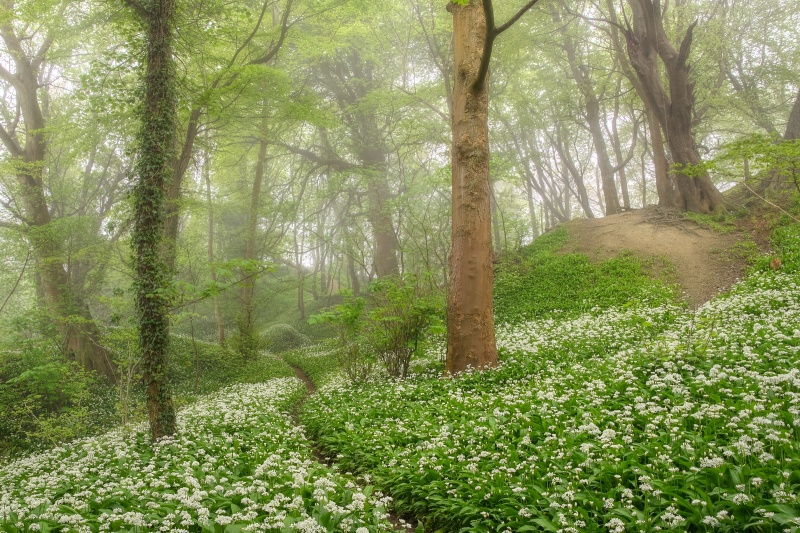 z2704 WIld Ramson Greatwood Copse - Sandown, Shanklin, Luccombe and Wroxall