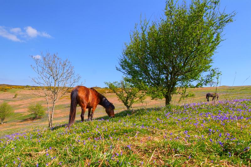 z2135 Springtime, Ventnor Down - Ventnor to St Catherine's inc Bonchurch & Whitwell