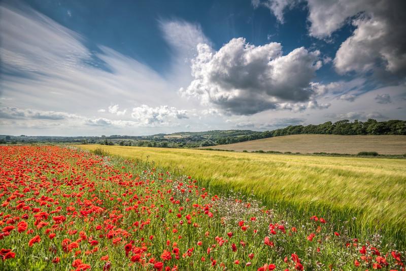 z2925 Summer Poppies, Sandown - Sandown, Shanklin, Luccombe and Wroxall