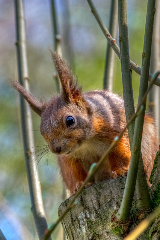z2816 Red Squirrel, Borthwood Copse - The Inner Island inc Newport & Godshill