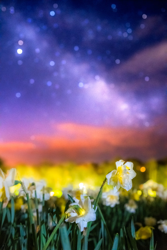 z3038 Daffodils under the Stars, Shanklin - Sandown, Shanklin, Luccombe and Wroxall
