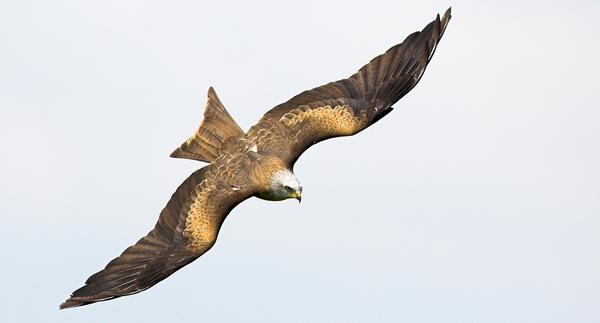 Black Kite 2 - Birds  -  Captive