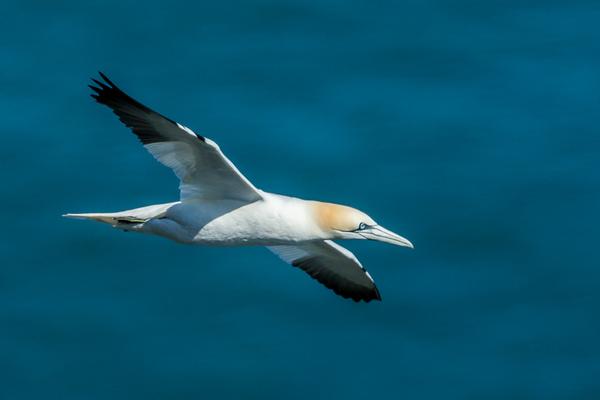 Gannet - Birds - Wild