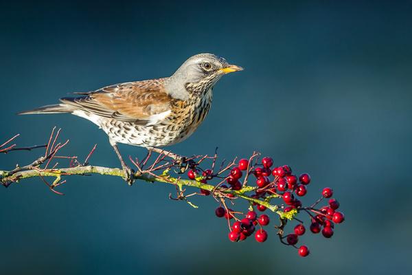 Fieldfare - Birds - Wild