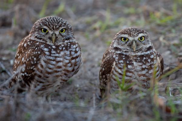 Burrowing Owl - Florida 2011