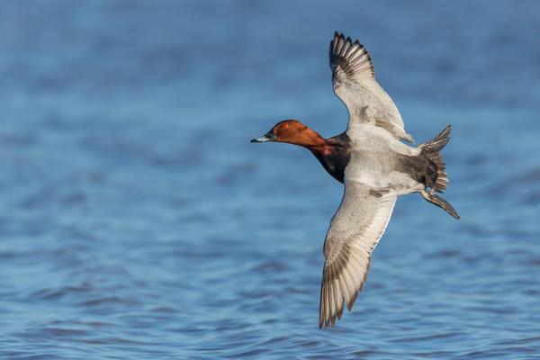 Common Pochard - Birds - Wild