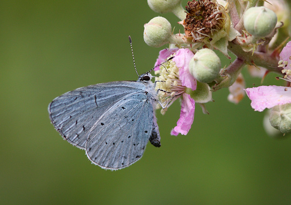 Holly Blue - Close up