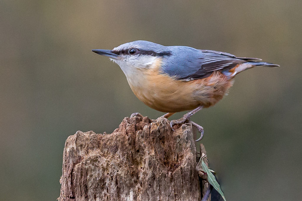 Nuthatch. - Birds - Wild