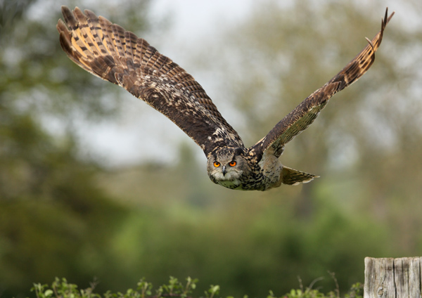 Eagle Owl - Birds  -  Captive