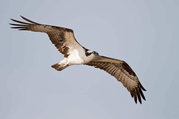 Osprey - Florida 2011