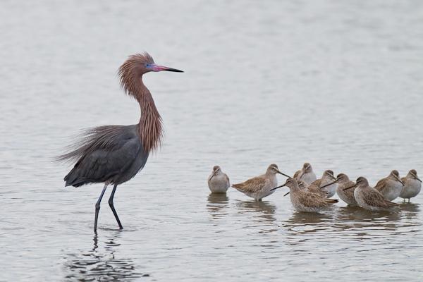 Reddish Egret & Willets - Florida 2011