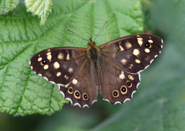 Speckled Wood - Close up