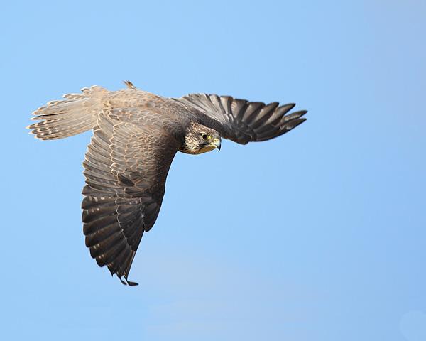 Saker Falcon - Birds  -  Captive