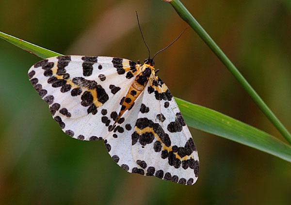 Magpie Moth - Close up