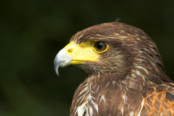 Harris Hawk - Birds  -  Captive