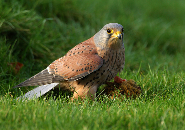 Kestrel - Birds  -  Captive
