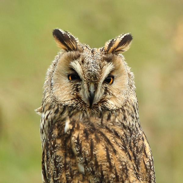 Long Eared Owl - Birds  -  Captive