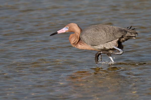 Reddish Egret - Florida 2011