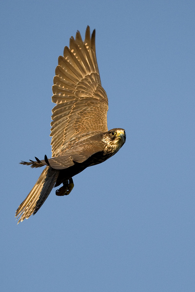 Lanner Falcon - Birds  -  Captive