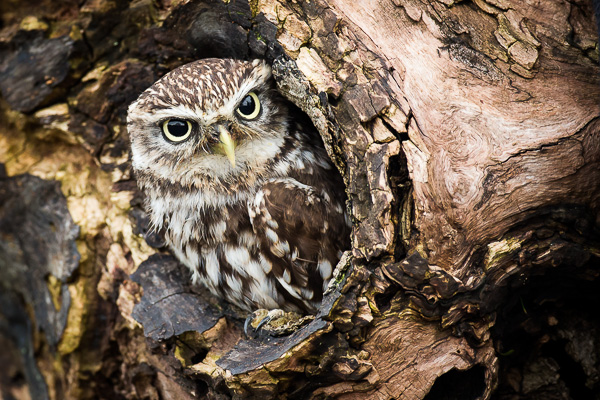 Little Owl - Birds  -  Captive