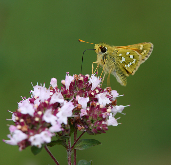 Silver Spotted Skipper - Close up