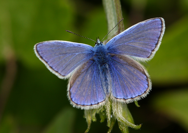Common Blue - Close up