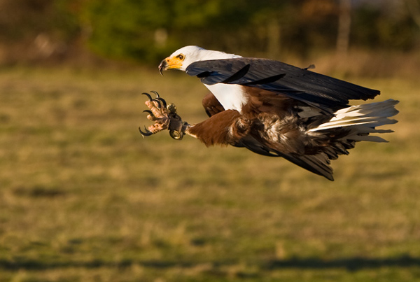 African Fish Eagle - Birds  -  Captive