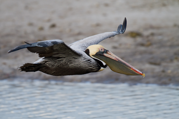 Brown Pelican - Florida 2011