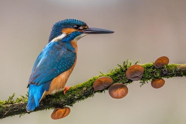 Kingfisher - Birds - Wild