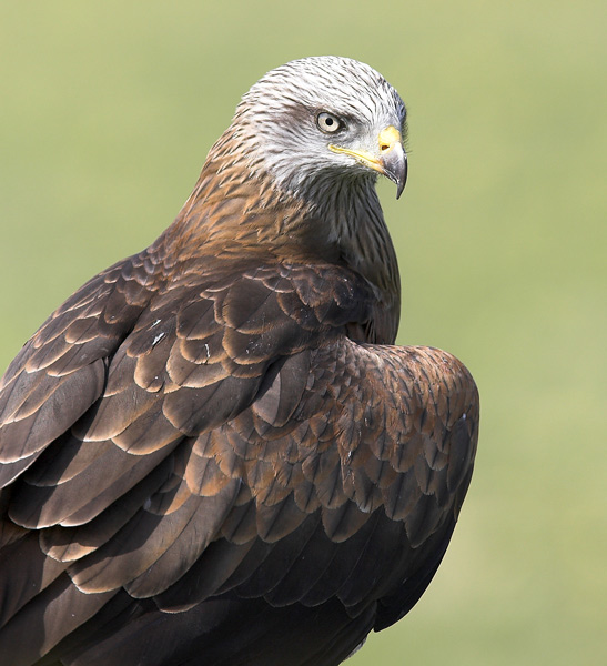 Black Kite Portrait - Birds  -  Captive
